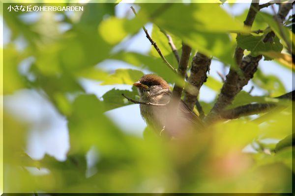 600 雀の幼鳥 1