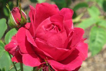 350 ふくよかな赤バラ