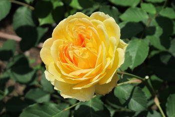 350 黄バラ