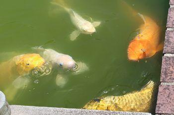 350 鯉が泳ぐ