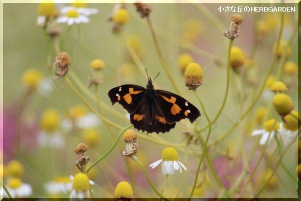 600 てんぐ蝶