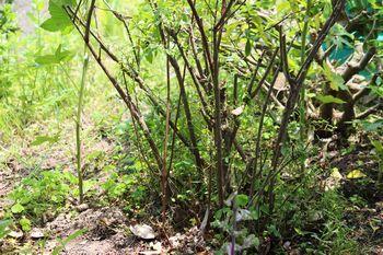 350 ほぼ枝だけのユキヤナギ