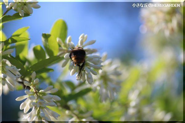 600 ミツバチとイボタノキ