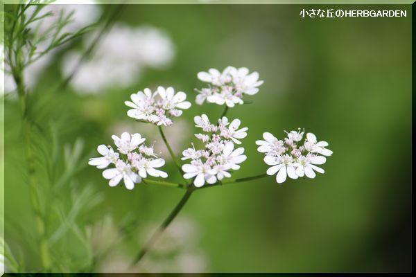 600 コリアンダーのお花