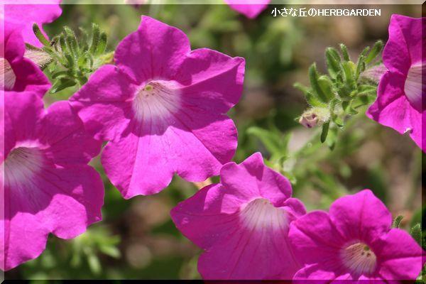 600 ペチュニア こぼれ種で開花