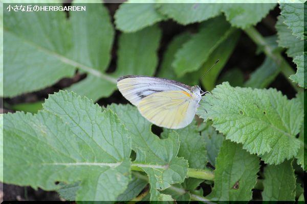 600 蝶 裏に模様のある子