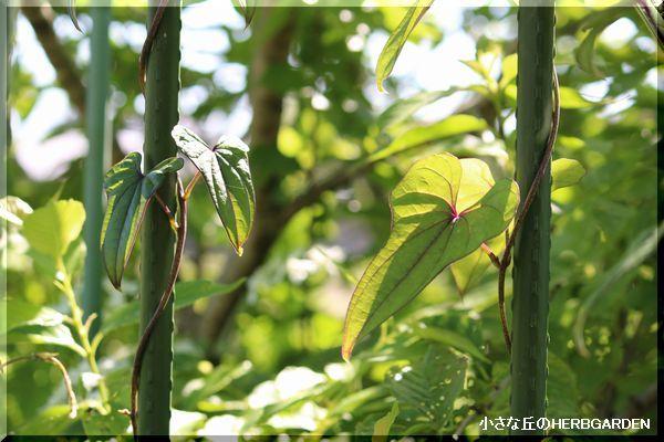 600 長芋の葉っぱ