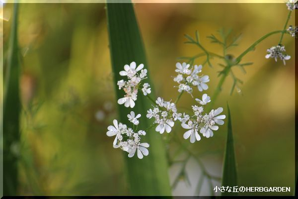 600 コリアンダーの花