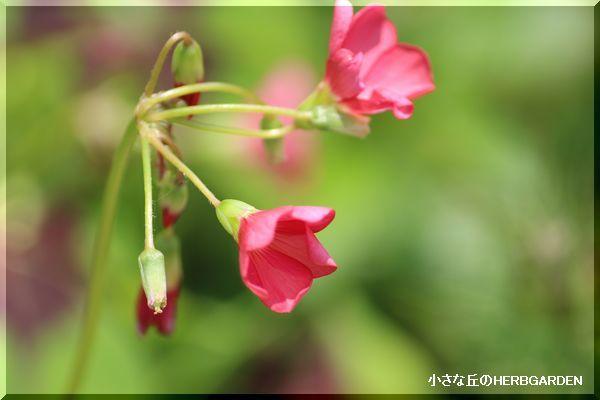 600 四葉のクローバーの花