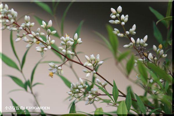 600 南天の蕾と開花