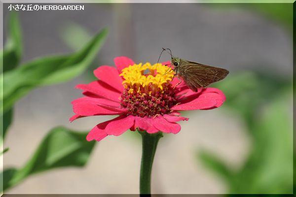 600 百日草と蝶