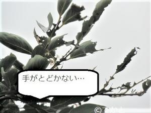 柿,かじられた,地上3m