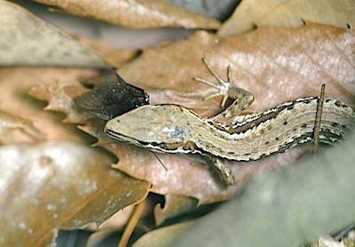 カナヘビ2