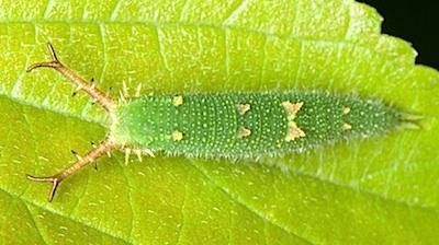 アカボシゴマダラの4齢幼虫背面