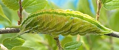 アカボシゴマダラの5齢幼虫の側面