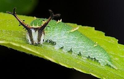 アカボシゴマダラの4齢幼虫側面