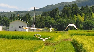 水田脇のトキ