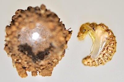 ウスバカゲロウの蛹室