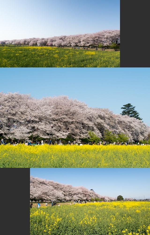 お花見1(11)