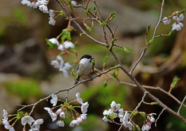 2コガラ桜 DSC_1585
