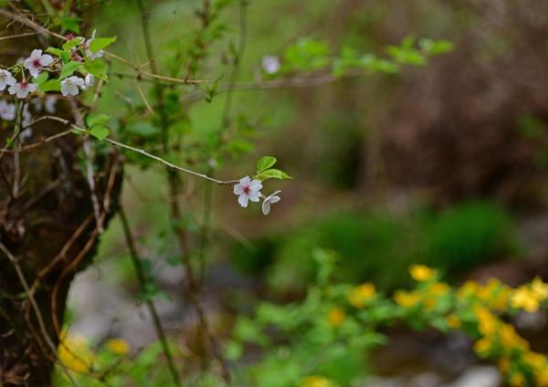 桜とヤマブキ DSC_3946