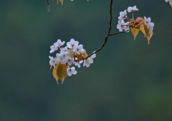 山桜 DSC_0016