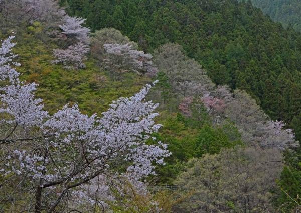 山桜 DSC_0064