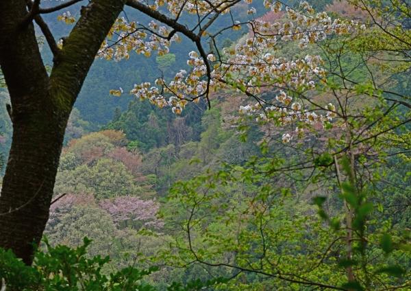 山桜 DSC_3975