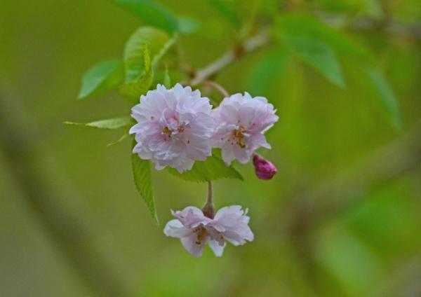八重桜 DSC_0031