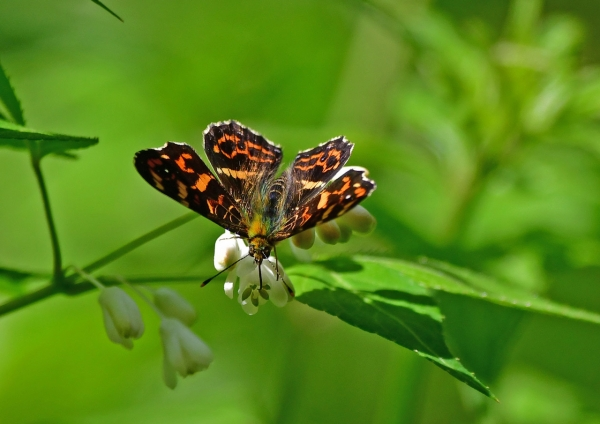 7サカハチチョウ春型♂ DSC_8930