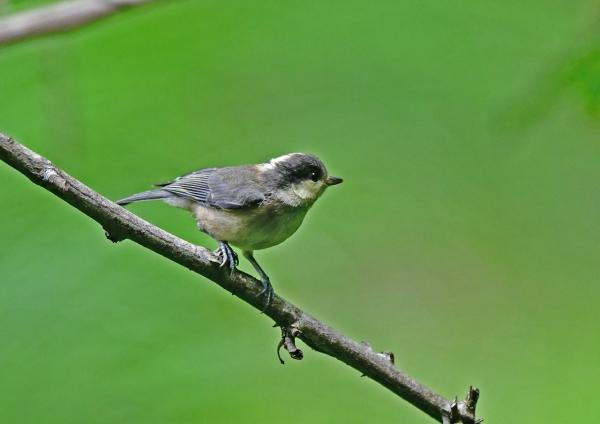 ヤマガラ幼鳥1 DSD_8011