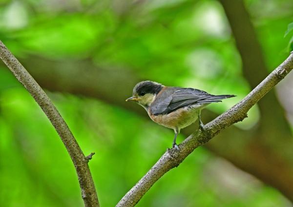 ヤマガラ幼鳥2 DSD_5845