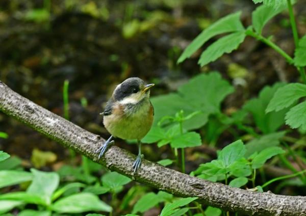 ヤマガラ幼鳥3 DSD_5958