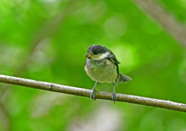 ヤマガラ幼鳥4 DSD_5945