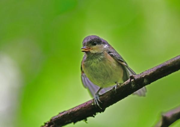 ヤマガラ幼鳥5 DSD_7927