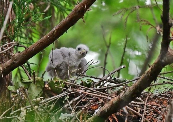 オオタカ1幼鳥 DSD_7636