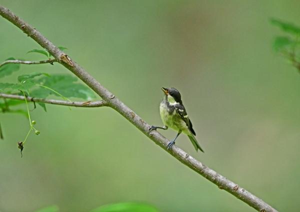 ヒガラ1幼鳥 DSD_0219