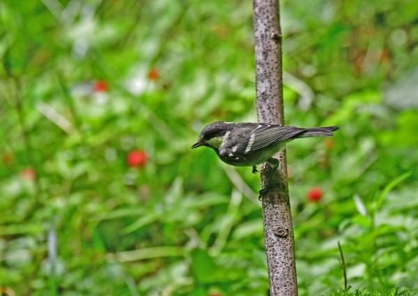 ヒガラ3幼鳥 DSD_0209