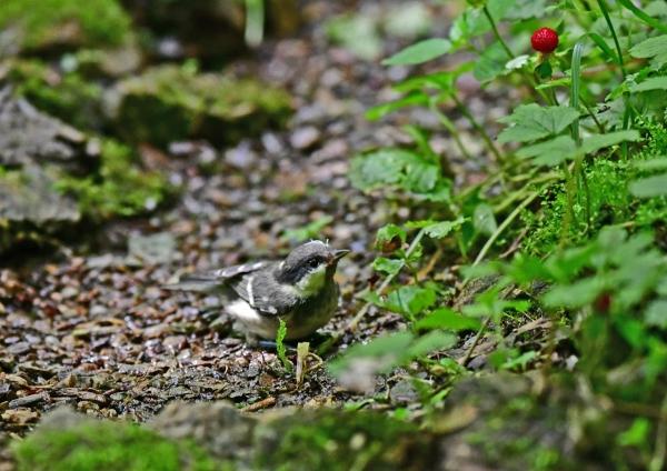 ヒガラ4幼鳥 DSD_0166