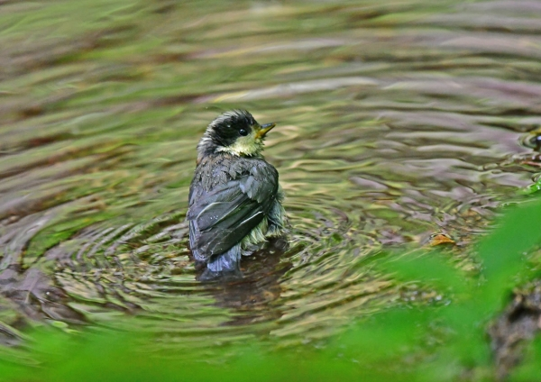 ヤマガラ幼鳥水浴び1 DSD_8055