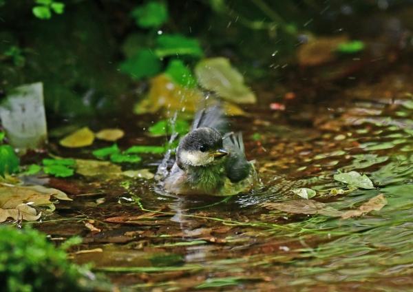 ヤマガラ幼鳥水浴び2 DSD_8732