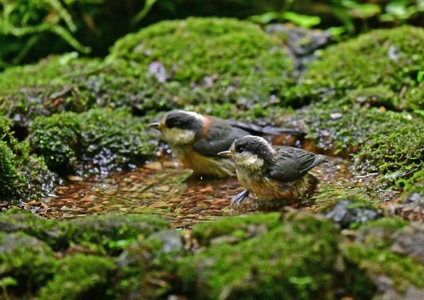 ヤマガラ幼鳥水浴び3 DSD_0114