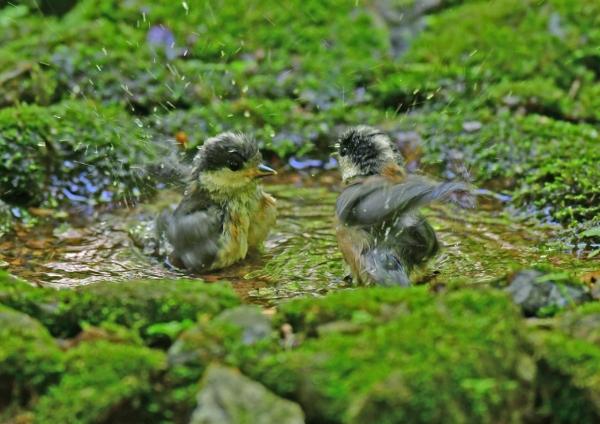 ヤマガラ幼鳥水浴び4 DSD_9824