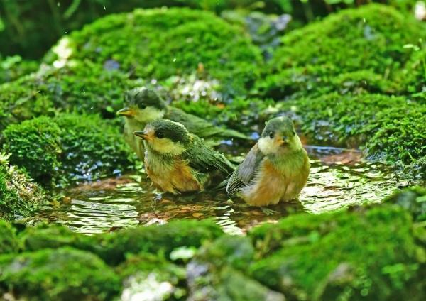 ヤマガラ幼鳥水浴び5 DSD_8349