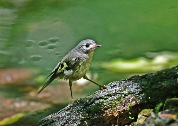 キクイタダキ幼鳥1 DSD_9453