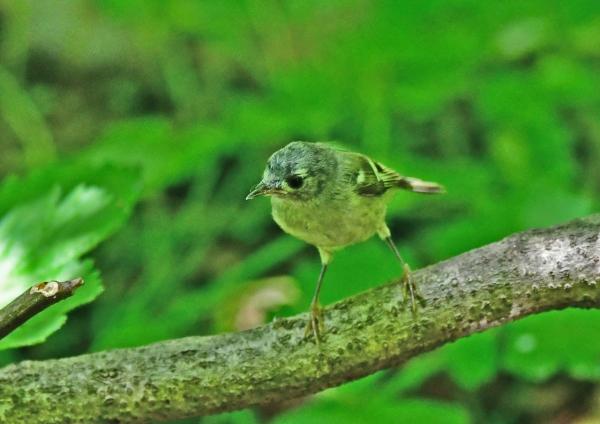 キクイタダキ幼鳥2 DSD_9542