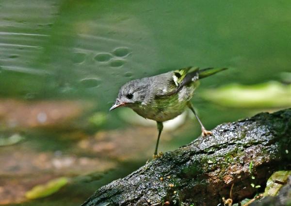 キクイタダキ幼鳥3 DSD_9456