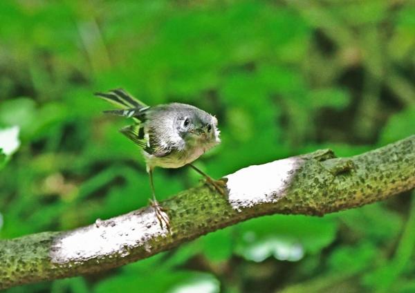 キクイタダキ幼鳥4 DSD_9444