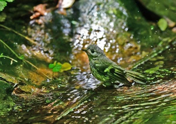 キクイタダキ幼鳥5 DSD_9528