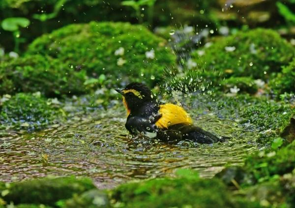 キビタキ水浴び1 DSD_4605